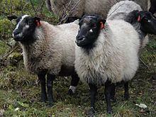 Grey Troender sheep httpsuploadwikimediaorgwikipediacommonsthu