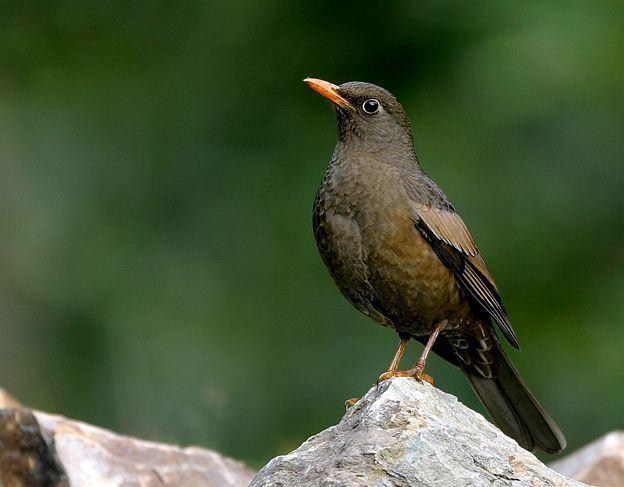 Grey-winged blackbird orientalbirdimagesorgimagesdatagreywingedblac