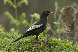 Grey-winged blackbird Greywinged blackbird Wikipedia