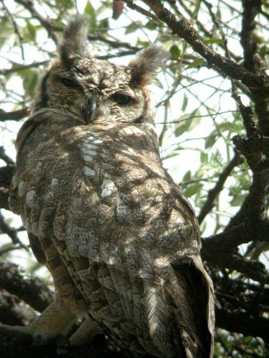 Greyish eagle-owl Greyish EagleOwl BirdForum Opus