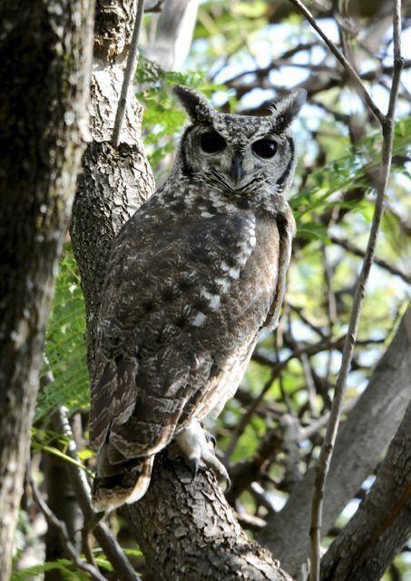 Greyish eagle-owl Photos of Greyish Eagleowl Bubo cinerascens the Internet Bird