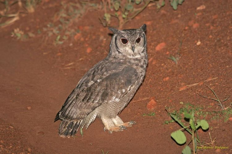 Greyish eagle-owl Greyish Eagleowl Bubo cinerascens Side view of an adult looking