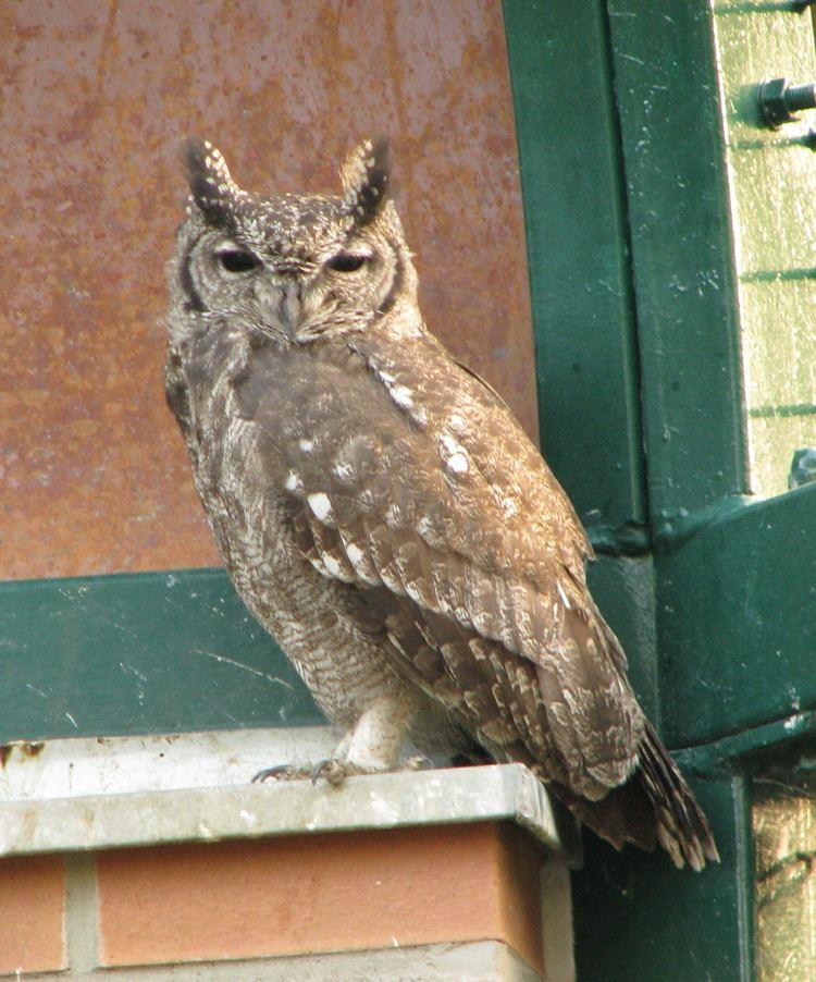 Greyish eagle-owl httpsuploadwikimediaorgwikipediacommons77