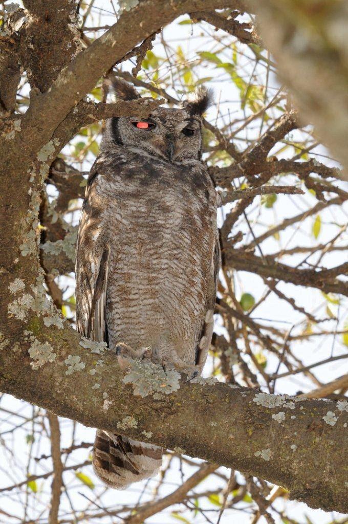 Greyish eagle-owl Mystery bird Greyish eagleowl Bubo cinerascens GrrlScientist