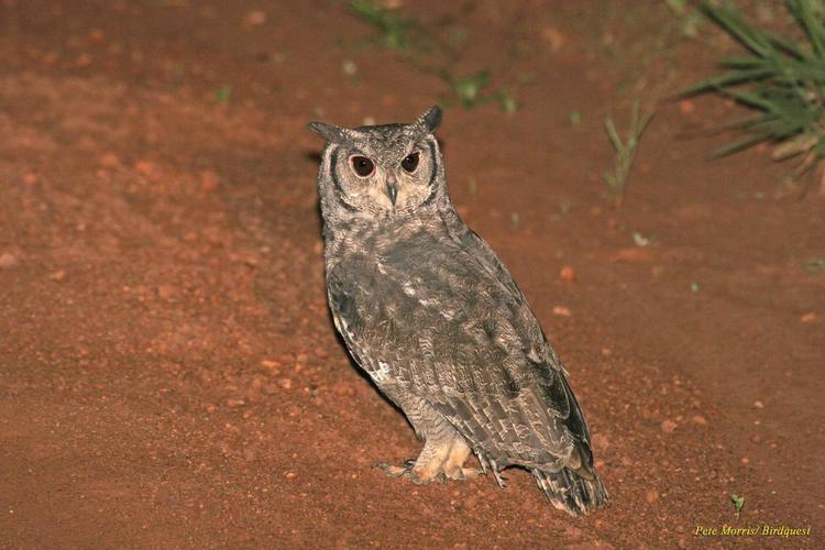 Greyish eagle-owl Greyish Eagleowl Bubo cinerascens Adult looking over its shoulder