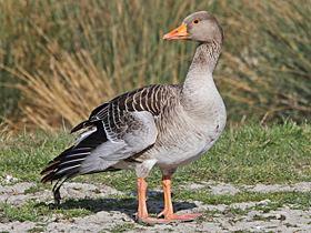 Greylag goose Greylag Goose gobirdingeu