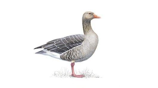 Greylag goose The RSPB Greylag goose