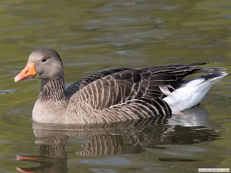 Greylag goose Greylag Goose Wildfowl Photography