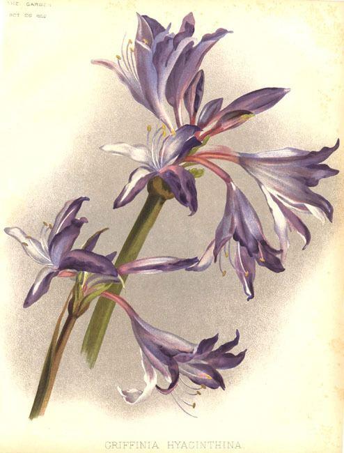 Griffinia hyacinthina