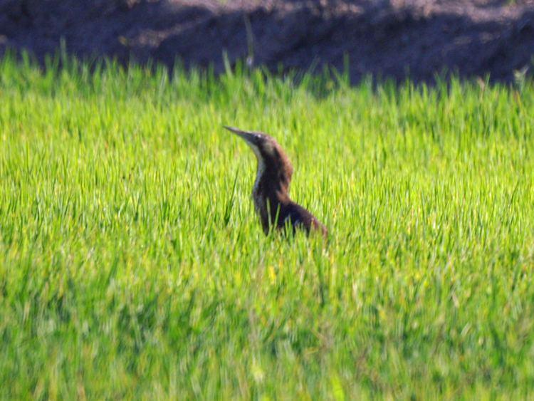 Griffith Wetlands Important Bird Area
