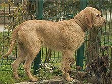 Griffon Fauve de Bretagne httpsuploadwikimediaorgwikipediacommonsthu