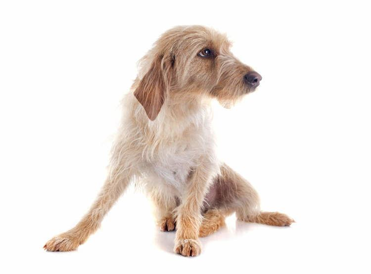 Griffon Fauve de Bretagne Griffon Fauve De Bretagne Dogs Breed Information Omlet