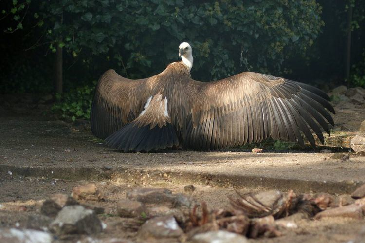 Griffon vulture 1000 images about Griffon Vulture on Pinterest Feathers