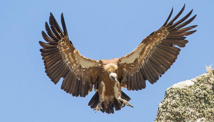 Griffon vulture Griffon Vulture Mallorca Bird Watching
