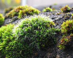 Grimmiales httpsuploadwikimediaorgwikipediacommonsthu