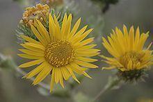 Grindelia ciliata httpsuploadwikimediaorgwikipediacommonsthu