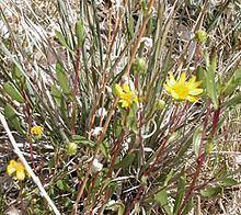 Grindelia fraxinipratensis httpsuploadwikimediaorgwikipediacommonsthu