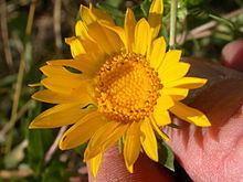 Grindelia nana httpsuploadwikimediaorgwikipediacommonsthu