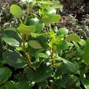 Griselinia littoralis wwwsmgrowerscomimagedbGriselinialittoralisJPG