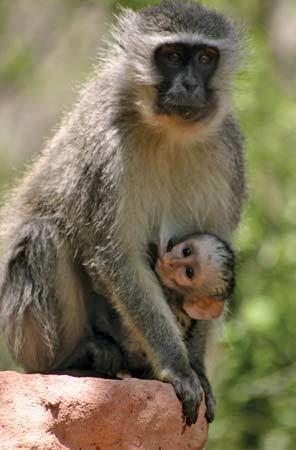 Grivet grivet monkey Britannicacom