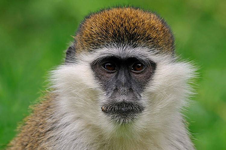Grivet TrekNature Grivet Monkey Photo