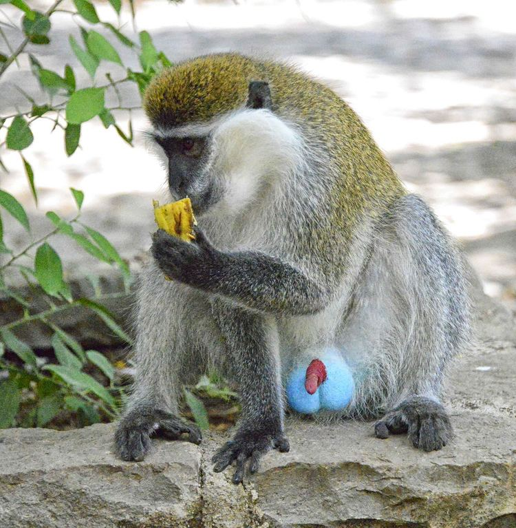 Grivet Grivet Monkey Ethiopia Rod Waddington Flickr