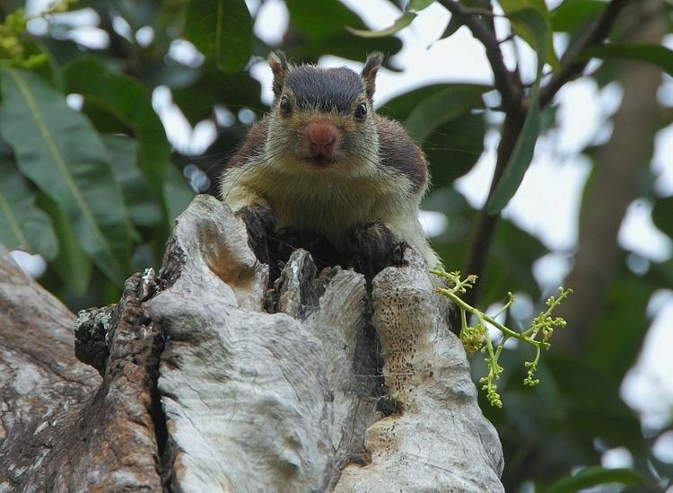Grizzled giant squirrel Grizzled Giant Squirrel Ratufa macroura Animals Birding in India