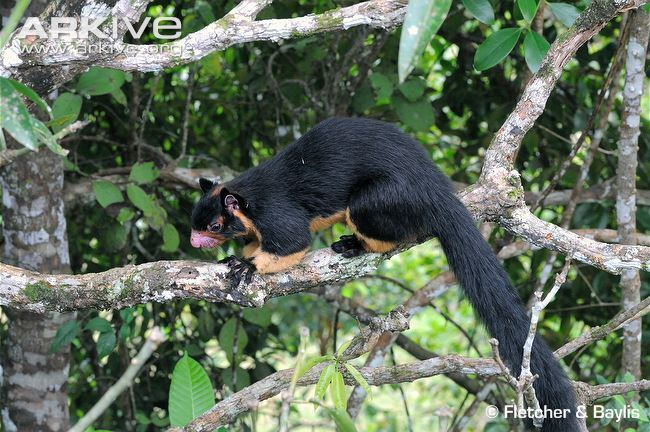 Grizzled giant squirrel Grizzled giant squirrel photo Ratufa macroura G119130 ARKive