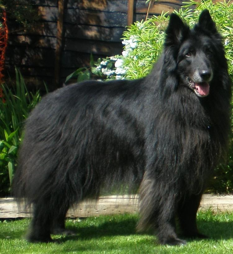 Groenendael dog 1000 images about groenendael on Pinterest Coats Wolves and