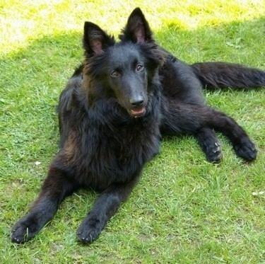 Groenendael dog Belgian Shepherd Dog Breed Information and Pictures