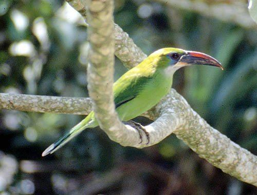 Groove-billed toucanet Mangoverde World Bird Guide Photo Page Groovebilled Toucanet