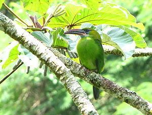 Groove-billed toucanet Groovebilled toucanet Wikipedia