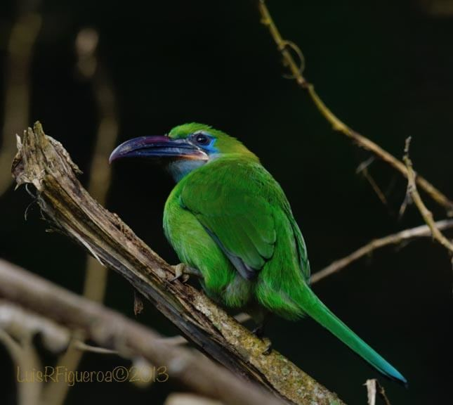 Groove-billed toucanet Groovebilled Toucanet Aulacorhynchus sulcatus Resting on a branch