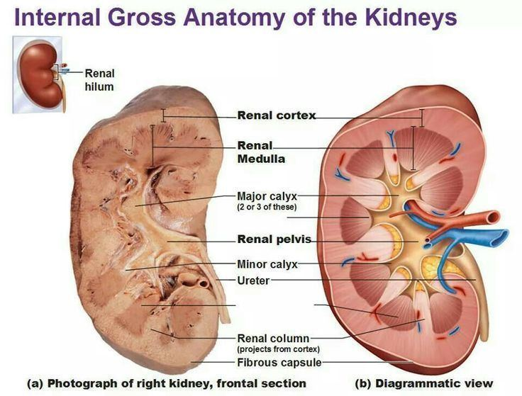 Gross anatomy httpssmediacacheak0pinimgcom736x58dfd9