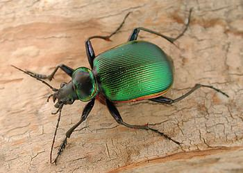 Ground beetle tolweborgtreeToLimagesDSCN24948001250ajpg