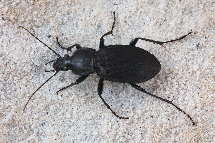 Ground beetle groundbeetlejpg