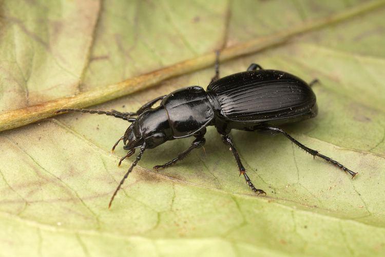 Ground beetle Beetle Pterostichus madidus