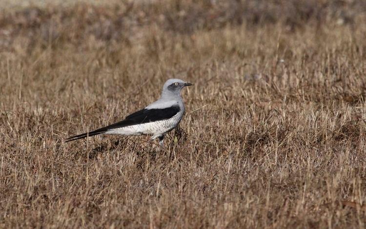 Ground cuckooshrike Ground cuckooshrike Coracina maxima Department of Environment