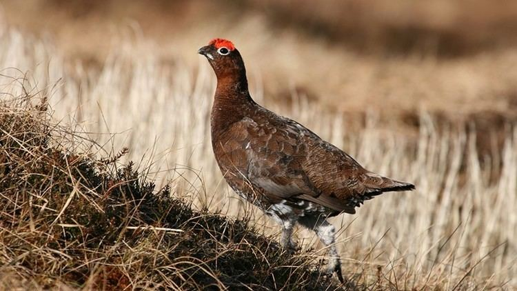 Grouse The RSPB Browse bird families Grouse
