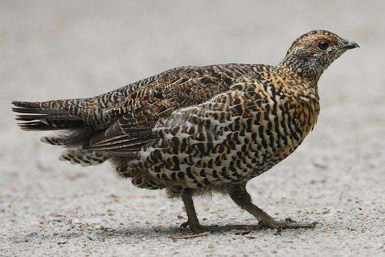 Grouse Spruce grouse Wikipedia