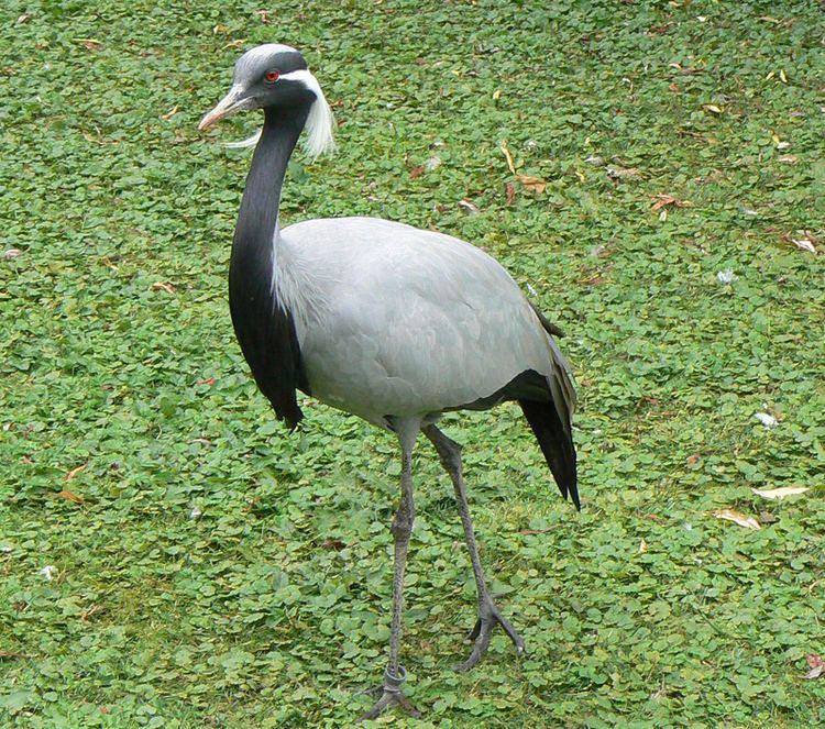 Gruiformes Gruiformes coots cranes rails Photo Gallery Wildlife Journal