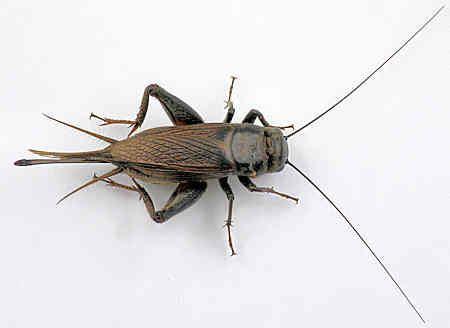 Gryllus Gryllus pennsylvanicus Field cricket