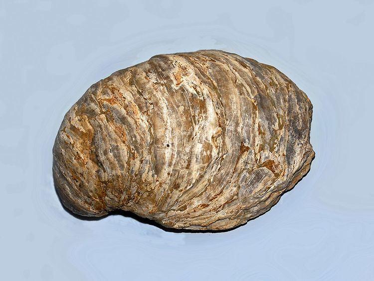 Gryphaeidae httpsuploadwikimediaorgwikipediacommonsthu