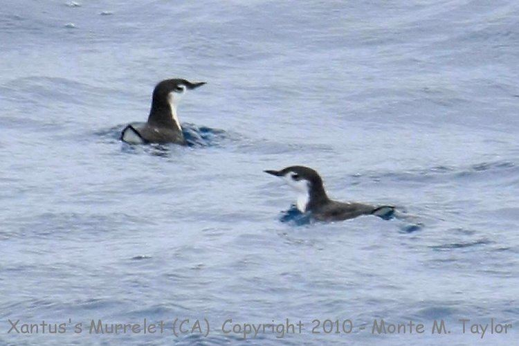 Guadalupe murrelet Guadalupe Murrelet recently split from Xantus39s Murrelet
