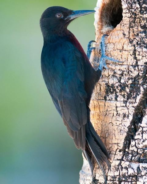 Guadeloupe woodpecker BirdsEye Photography Review Photos