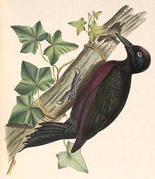 Guadeloupe woodpecker httpsuploadwikimediaorgwikipediacommonsthu