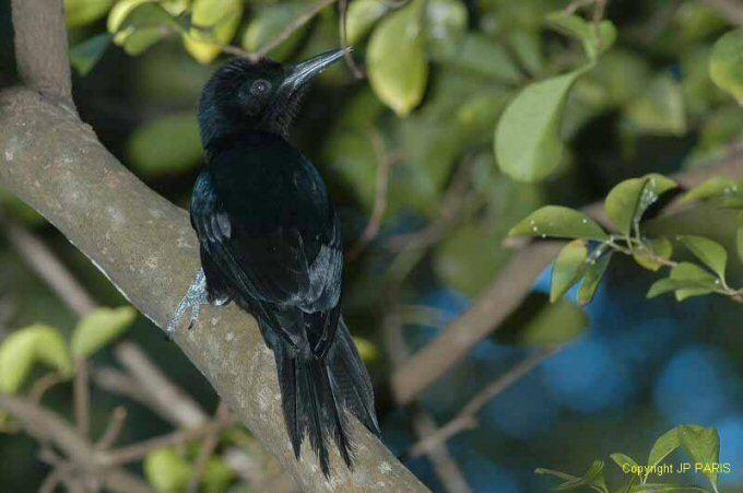 Guadeloupe woodpecker Mangoverde World Bird Guide Photo Page Guadeloupe Woodpecker