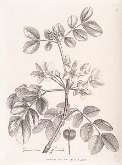Guaiacum A Modern Herbal Guaiacum