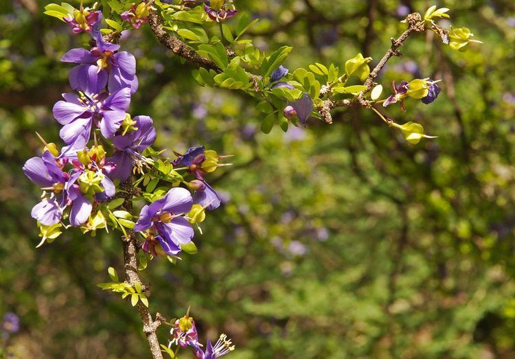 Guaiacum coulteri hasbrouckasueduimglibmabafloraZygophyllaceae