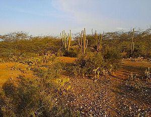 Guajira-Barranquilla xeric scrub httpsuploadwikimediaorgwikipediacommonsthu